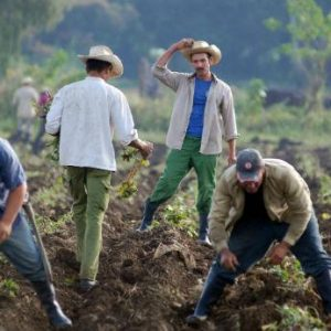 Cuban farmers planting sweet potato crop.