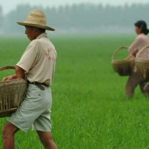 Farmers fertilizing an aerobic rice field