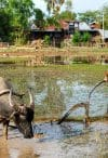A child ploughing the land with a water buffalo in Don Det, Si Pan Don, Laos
