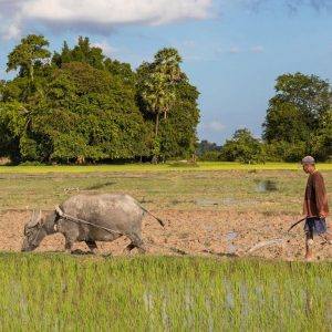 Man plowing with a water buffalo in the paddy fields of Don Puay (Si Phan Don), Laos