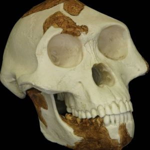 "Reconstructed replica of the skull of ""Lucy,"" a 3.2-million-year-old Australopithecus afarensis"