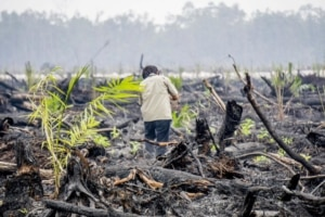 Palm_oil_greenpeace-300x200