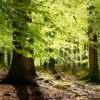 New beech leaves, Gribskov Forest in the northern part of Sealand, Denmark
